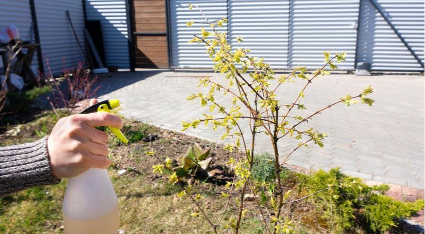 обработка жимолости от мучнистой росы