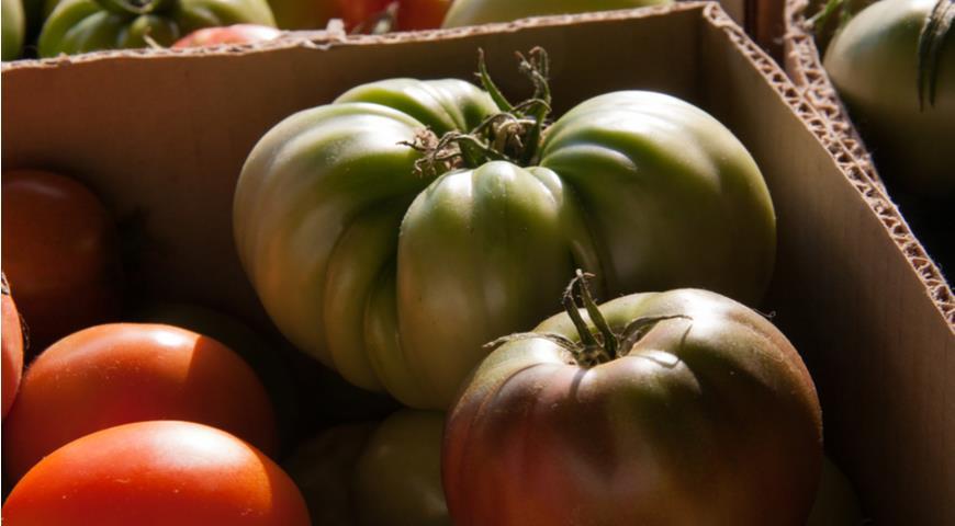 созревание зеленых помидоров