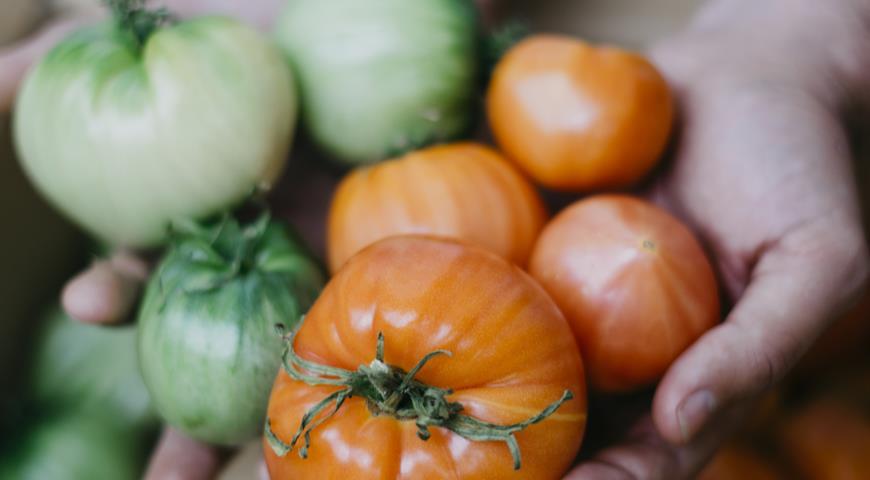 дозревание зеленых помидоров