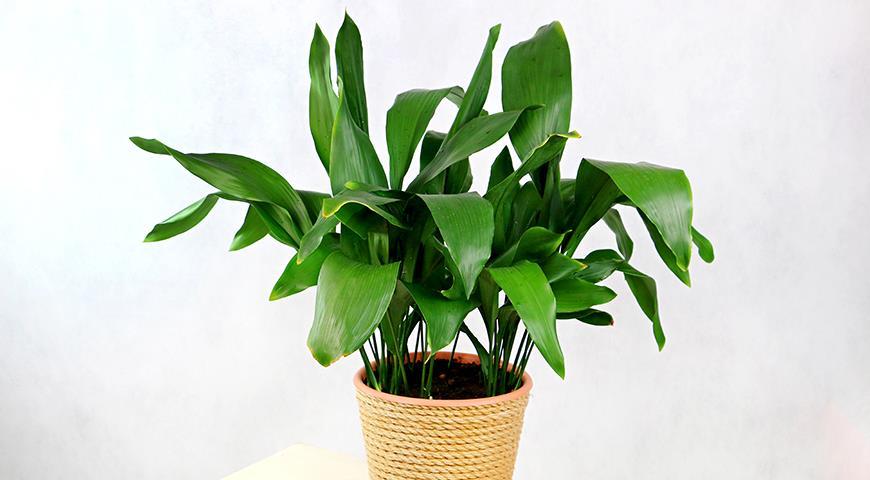 Аспидистра, или дружная семейка — комнатное растение, популярное у флористов
